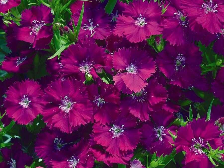 Dianthus_dianthus_chinensis_dulce_tm_violet-1.full