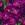Dianthus: Dianthus chinensis 'Dulce™ Violet'