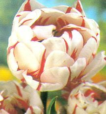 Tulips_tulipa_carnaval_de_nice-1.full