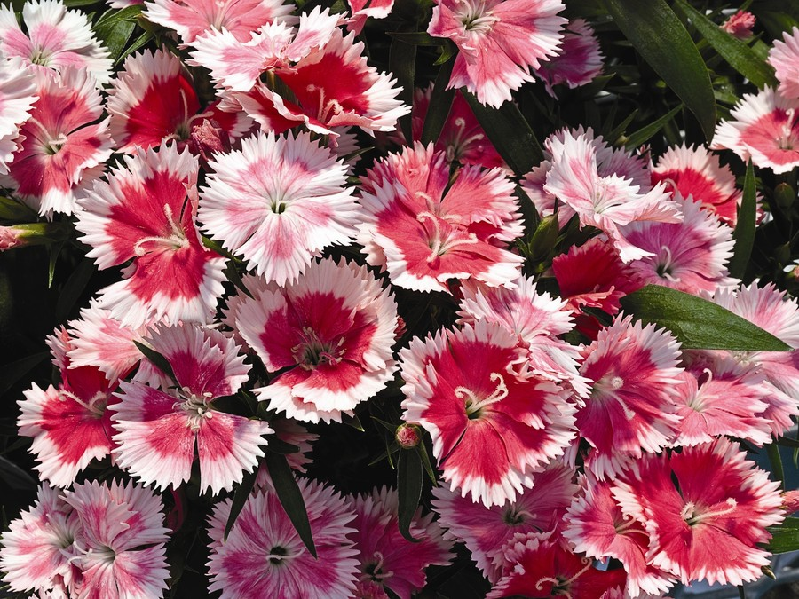 Dianthus_dianthus_chinensis_dulce_tm_white_to_pink-1.full