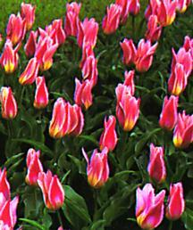 Tulip, Kaufmanniana 'Ancilla'