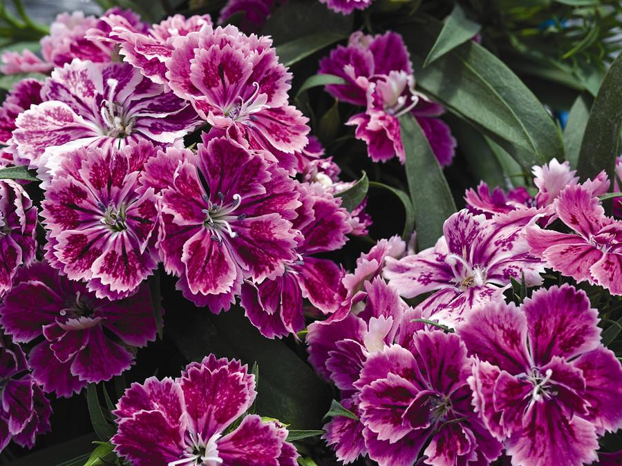 Dianthus_dianthus_hybrida_fandango_tm_purple_picotee-1.full