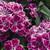 Dianthus_dianthus_hybrida_fandango_tm_purple_picotee-1.small