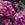 Dianthus: Dianthus chinensis 'Fandango™ Purple Picotee'