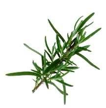 Rosemary, Foresteri