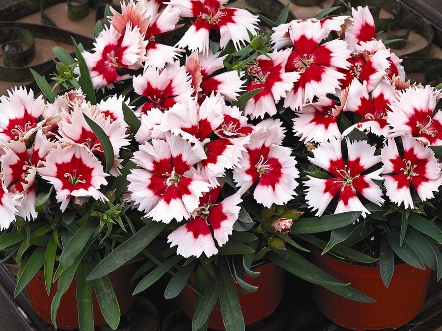 Dianthus_dianthus_chinensis_super_parfait_tm_red_peppermint-1.full
