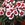Dianthus_dianthus_chinensis_super_parfait_tm_red_peppermint-1.sprite