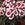 Dianthus_dianthus_chinensis_super_parfait_tm_red_peppermint-1.sprite