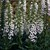 Foxgloves_digitalis_purpurea_camelot_tm_lavender-1.small