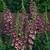 Foxgloves_digitalis_purpurea_camelot_tm_rose-1.small