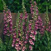 Foxgloves_digitalis_purpurea_camelot_tm_rose-1.thumb