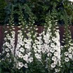 Digitalis, Camelot™ White
