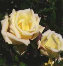 Rose, Antique Tea 'Perle des Jardins' (1874)