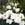 Lisianthus: Eustoma Grandiflora, 'Cinderella™ Ivory'
