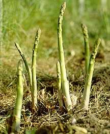 Asparagus, Jersey Giant