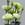 Lisianthus: Eustoma Grandiflora, 'Cinderella™ Lime'