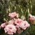 Lisianthus: Eustoma Grandiflora, 'Cinderella™ Pink'