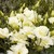 Lisianthus: Eustoma Grandiflora, 'Cinderella™ Yellow'