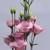 Lisianthus: Eustoma Grandiflora, 'Twinkle™ Pink'