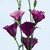 Lisianthus: Eustoma Grandiflora, 'Twinkle™ Violet'