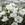 Lisianthus: Eustoma Grandiflora, 'Twinkle™ White'