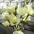 Lisianthus: Eustoma Grandiflora, 'Twinkle™ Yellow'