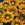 Gazanias: Gazania Splendens, 'Big Kiss™ Yellow Flame'