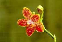 Orchid, Moth 'Sunny Delight' Mix