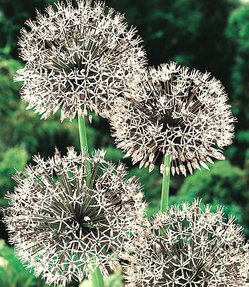 Alliums_allium_rosenbachianum_album-1.full