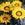 Gazanias: Gazania Splendens, 'Kiss™ Frosty Yellow'
