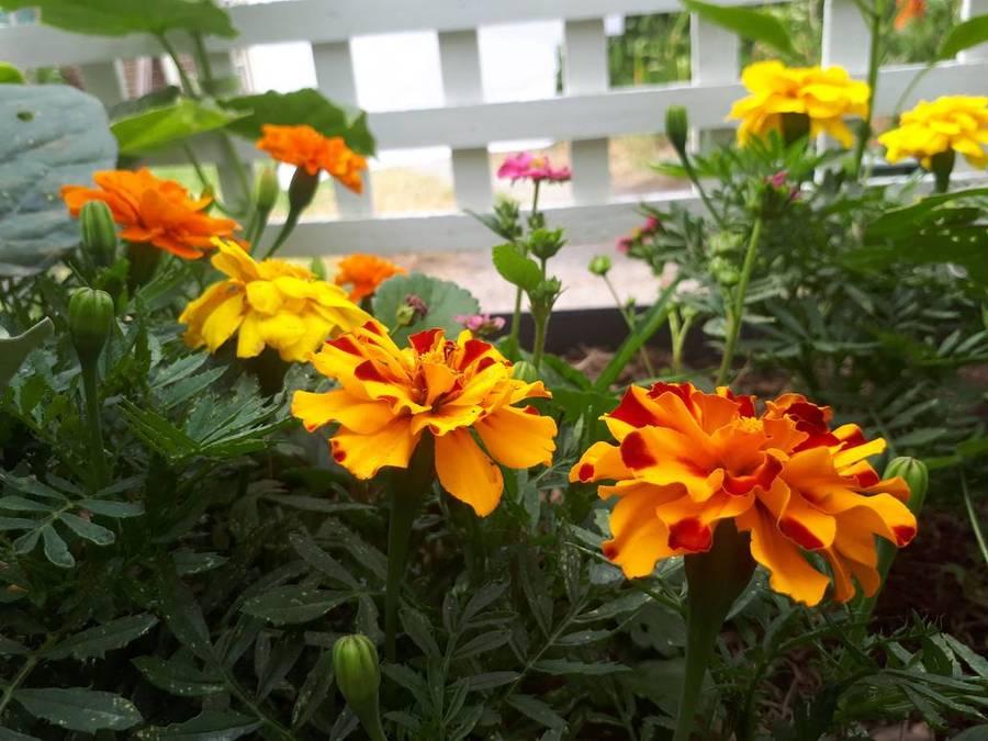 Marigolds_by_darthbloodorange_dbzya7p-pre.full