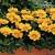 Gazanias: Gazania Splendens, 'Kiss™ Golden Yellow'