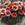 Gazanias: Gazania Splendens, 'Kiss™ Mahogany'