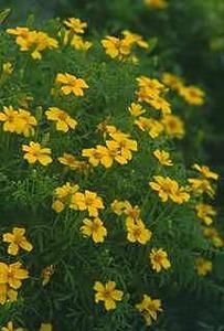 Marigold, Lemon Gem Signet