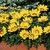 Gazanias: Gazania Splendens, 'Kiss™ Yellow'
