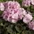 Geraniums: Pelargonium Hortorum, 'Bullseye™ Light Pink'
