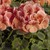 Geraniums: Pelargonium Hortorum, 'Bullseye™ Salmon'
