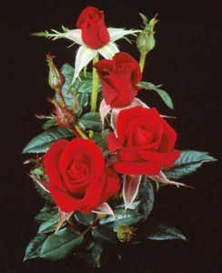 Rose, Miniature 'Santa Claus'