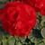 Geraniums: Pelargonium Hortorum, 'Bullseye™ Scarlet'