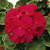 Geraniums: Pelargonium Hortorum, 'Elite™ Cherry'