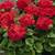 Geraniums: Pelargonium Hortorum, 'Elite™ Red'