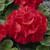 Geraniums: Pelargonium Hortorum, 'Elite™ Scarlet'