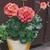 Geraniums: Pelargonium Hortorum, 'Maverick™ Coral'