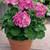 Geraniums: Pelargonium Hortorum, 'Maverick™ Lavender'