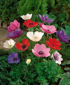 bulbs anemone coronaria de caen group. Black Bedroom Furniture Sets. Home Design Ideas