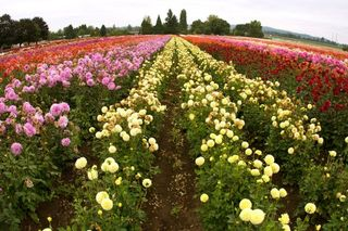 Swan Island Dahlias Promo Codes for November, Save with 3 active Swan Island Dahlias promo codes, coupons, and free shipping deals. 🔥 Today's Top Deal: Save 25% and get free shipping. On average, shoppers save $28 using Swan Island Dahlias coupons from kleiderschrank.tk