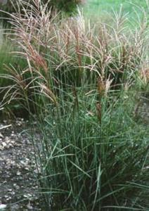 ornamental grasses miscanthus sinensis 39 graziella 39. Black Bedroom Furniture Sets. Home Design Ideas