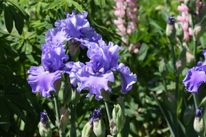 iris astro