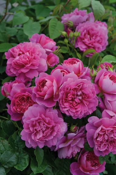 2012 New Plants 2 New Fragrant Shrub Roses From David Austin