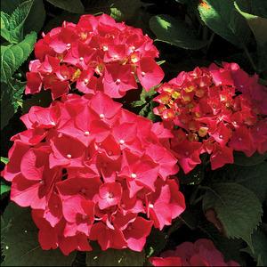 Hydrangeas Hydrangea Red Sensation